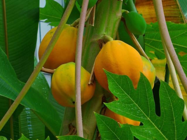 El mamón (Carica papaya)